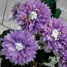Summer Flowers For Garden - 86 best vivacious vines images on pinterest clematis vines and