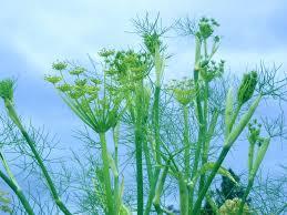 growing fennel herb fennel plants in the garden