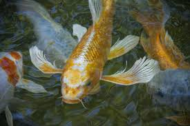 butterfly koi basic facts to aquascape inc