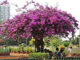 best 25 bougainvillea tree ideas on pinterest bougainvillea