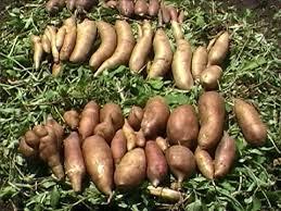 poire de terre cuisine yacon poire de terre plantation culture récolte