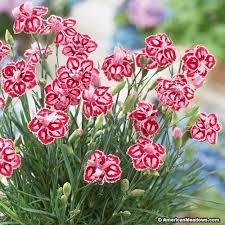 dianthus flower starburst dianthus pinks american