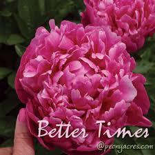 Wholesale Peonies Deep Pink Wholesale Peonies May June American Grown Peony Farm