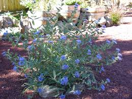 Bluebeard Flower - garden beautiful always remember the beauty of the garden for