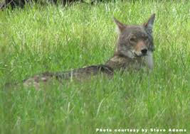 Can Coyotes See Red Light Coyote Steveadams Jpg