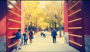 it s that time of year when ginkgo leaves in beijing turn golden
