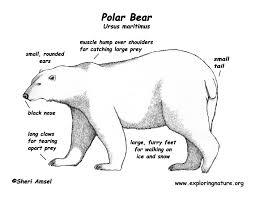 drawn polar bear educational pencil and in color drawn polar