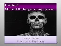 chapter 6 skin and the integumentary system hole u0027s human anatomy