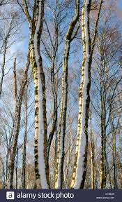 slender trunks of silver birch trees in copse with snow and