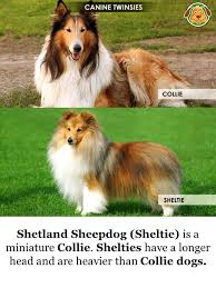 australian shepherd look alike dog breeds that look alike canine twinsies shih tzu u0027s ears are