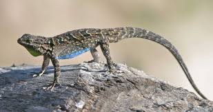 ornate tree lizard google search critters seen on the wild
