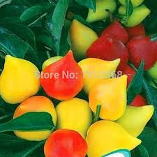 compare prices on ruby pepper ornamental pepper