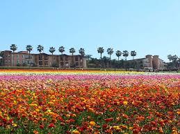 carlsbad flower garden the joys of life carlsbad flower fields