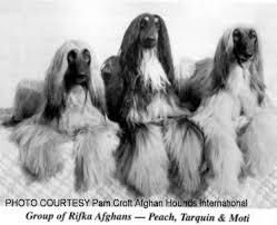 afghan hound breed afghan hound times rifka afghan hounds uk by clair race rifka 1969
