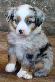 australian shepherd miniature australian shepherd smart working dog miniature australian