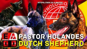 belgian sheepdog caracteristicas dutch shepherd history appearance and health care eadd tv