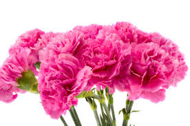 carnation flowers birth month flower of january the carnation