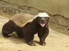 Meme Honey Badger - honey badger honey badger honey and humor