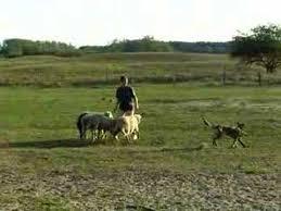 belgian shepherd herding malinois herding youtube