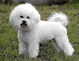 bichon frise names male best dog names see our list of dog names for inspiration