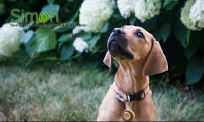 bluetick coonhound jack russell mix the redbone coonhound pack photos of redbone coonhounds