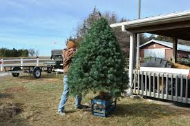 at pinecrest tree farm christmas is a full time job local news