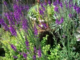 flower fairy garden seeds linaria purple toad flax