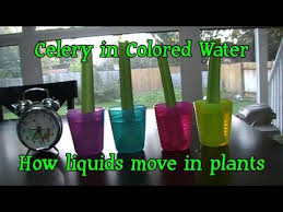 kindergarten core science color changing plants celery youtube