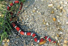 field guide to maryland s snakes order squamata