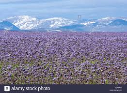 purple shade flowery meadows in colorful purple shade this side a mountainside