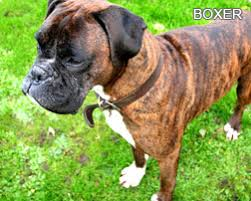 boxer dog price boxer a complete guide to boxer dogs