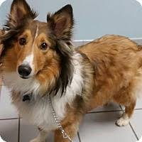 belgian sheepdog rescue ohio columbus oh pet adoption central ohio sheltie rescue inc has