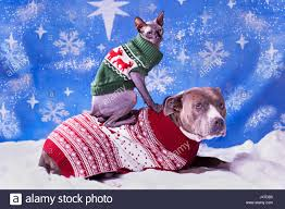 sphynx sweaters portrait of a pitbull and a sphynx cat in