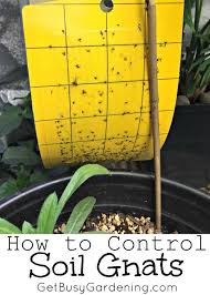 how to get rid of fungus gnats in houseplants soil houseplant
