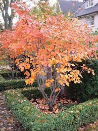 Good Backyard Trees 171 best trees conifers images on pinterest landscaping ideas