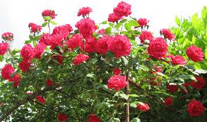 modern rose flower plants online tags rose flower plants flower