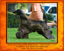 afghan hound group dogbreedz photo keywords afghan hound