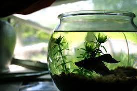 Beta Fish In Vase 7 Fundamentals Of The Ideal Betta Fish Tank Tfcg