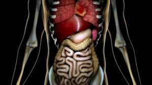 Human Body Anatomy Pics 4k Healthy Internal Organs In A Transparent Human Body Anatomical
