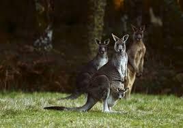 kangaroos are confusing self driving cars world economic forum