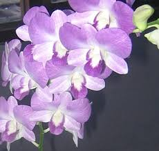 butterfly dendrobium orchids flowers by category