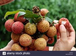 lychee fruit woman hand hold bunch of litchi fruit or lychee fruits a tropical