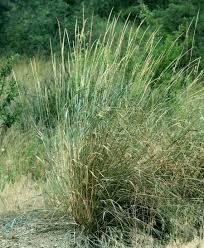 drought tolerant native plants great basin wildrye leymus cinereus blackfoot native plants