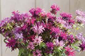 Flower Balm - panorama mix monarda seed johnny u0027s selected seeds