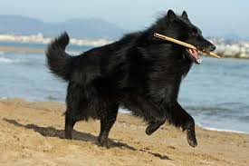 belgian sheepdog vs belgian shepherd german shepherd vs belgian shepherd about animals