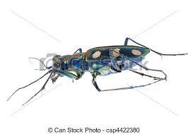 was ist das für ein insekt eine wanze oder was urlaub insekten tiger insekt wanze käfer freigestellt tiger insekt