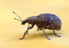 Biscuit Beetle In Bedroom 10 Steps To Keep Weevils And Bugs Out Of Food