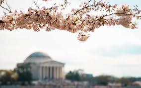 cherry blossom trees in washington d c bloom weeks early