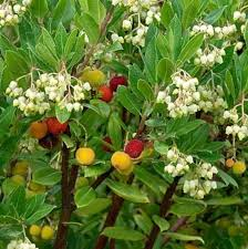 native plant finder arbutus unedo compacta evergreen nursery