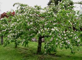 edible quince tree in bloom one of the most beautiful somewhat